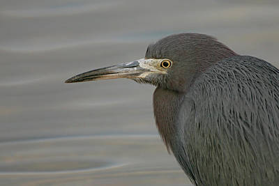 Lori A Cash Royalty-Free and Rights-Managed Images - Little Blue Heron Portrait by Lori A Cash