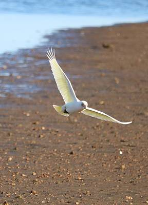 Spot Of Tea Royalty Free Images - Little Corella in Flight Royalty-Free Image by Michaela Perryman