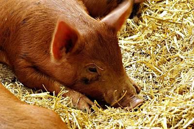 Thomas Kinkade Royalty Free Images - Little pig Royalty-Free Image by Chris Black
