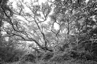 Royalty-Free and Rights-Managed Images - Live Oak Tree at Atlantic Beach North Carolina - Black and White by Bob Decker