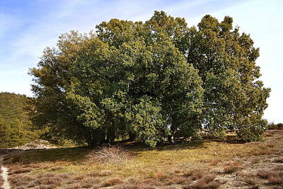 Airplane Paintings - Live Oaks On Thomas Mountain by Glenn McCarthy Art and Photography