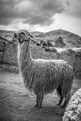 Royalty-Free and Rights-Managed Images - Llama by Celestial Images