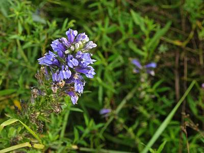 Rights Managed Images - Lobelia Royalty-Free Image by Photography by Tiwago