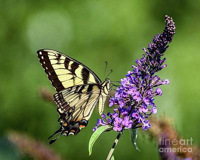 Vintage Buick - Lofty Eastern Tiger Swallowtail by Cindy Treger