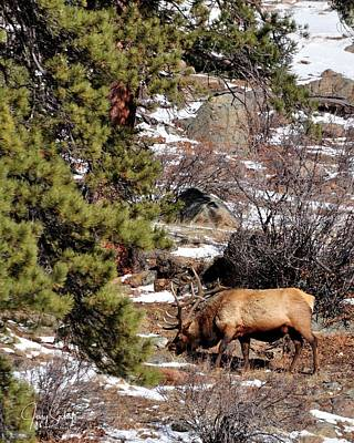 Jerry Sodorff Royalty-Free and Rights-Managed Images - Lone Elk Grazing DS by Jerry Sodorff