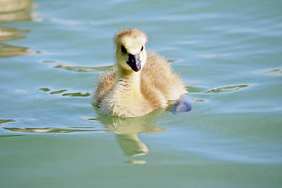 New Years - Lone Gosling  by Shoal Hollingsworth