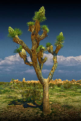 Anne Geddes - Lone Joshua Tree in Joshua Tree National Park by Randall Nyhof