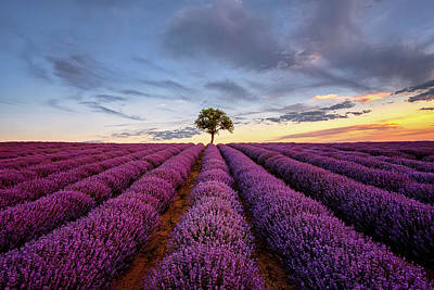 Ballerina Art - Lonely Tree in a Lavender Field at Sunset by Alexios Ntounas