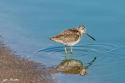 Photograph - Long-Billed Dowitcher Probing in the Mud by Jeff Goulden