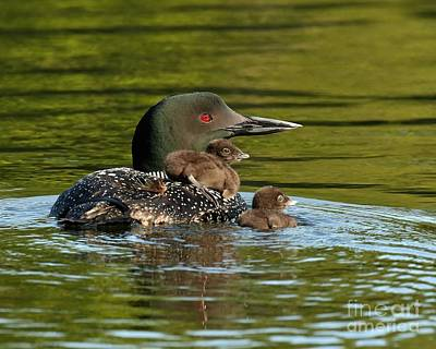 Vintage Chevrolet - Loon mom and her babies by Heather King