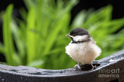 Animals Photos - Lost Little Carolina Chickadee by Paul Quinn