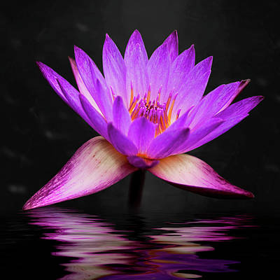 Still Life Royalty-Free and Rights-Managed Images - Lotus by Adam Romanowicz