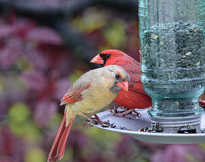 Animals Royalty-Free and Rights-Managed Images - Love Bird Cardinals by Lara Ellis