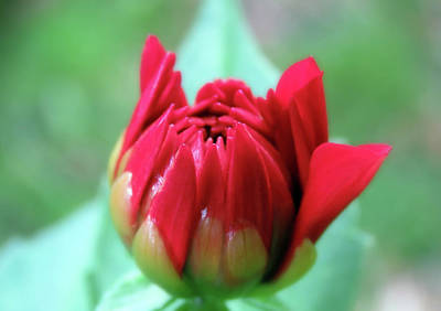 Garden Tools - Lovely Little Red Dahlia Bud by Johanna Hurmerinta
