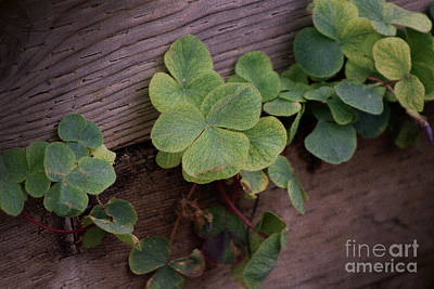 Photograph - Lucky or Determined Saint Patricks Day Shamrocks by Colleen Cornelius