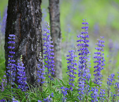 Valentines Day - Lupine and Pine by Whispering Peaks Photography