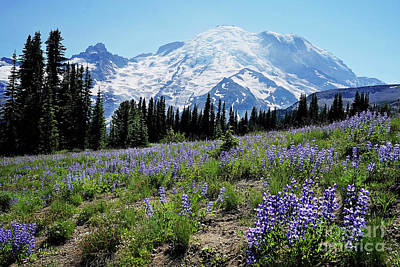 Vintage Automobiles - lupine fields at Rainier by Sylvia Cook