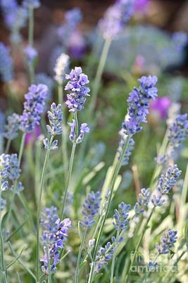 Car Photos Douglas Pittman - Luscious Lavender by Carol Groenen