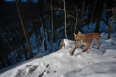 Photograph - Lynx in the snow by Emmanuel Rondeau