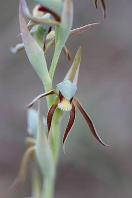 Achieving - Lyperanthus serratus by Michaela Perryman
