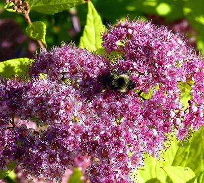 Door Locks And Handles Rights Managed Images - Magic Carpet Spirea And Bee Royalty-Free Image by Will Borden