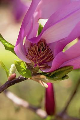 Photograph - Magnolia Ann 2 by Dawn Cavalieri