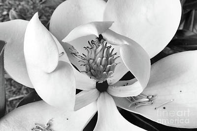 Stellar Interstellar - Magnolia Blossom - Classic Black and White by Scott Cameron