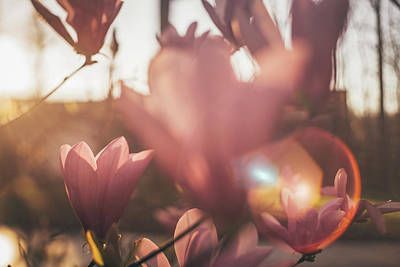 Photograph - Magnolia Blossom Sunset by Jessica Nelson