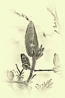 Wild Weather - magnolia buds BW  #j7 by Leif Sohlman