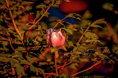 Queen Rights Managed Images - Magnolia light #j8 Royalty-Free Image by Leif Sohlman