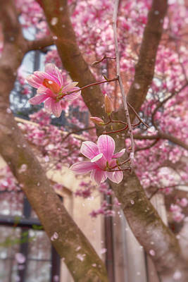Nirvana - Magnolias Blooming in Boston by Joann Vitali