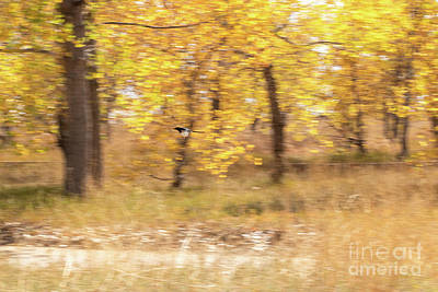 Photograph - Magpie In Flight by Nicki Hoffman