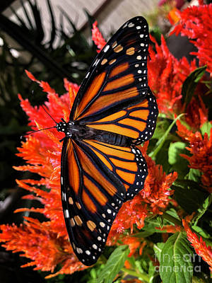 Pineapple - Majestic Female Monarch Butterfly by Mariola Bitner