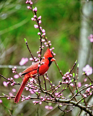 Curated Beach Towels - Male Cardinal Early Spring by Laura Vilandre