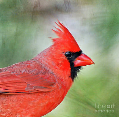 Wild And Wacky Portraits Rights Managed Images - Male Cardinal Profile Royalty-Free Image by Kerri Farley