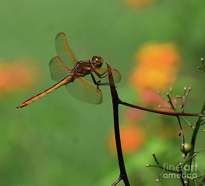 Chemical Glassware - Male Eastern Amberwing  by Skip Willits
