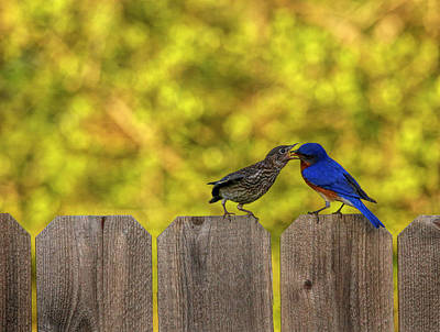 Abstract Male Faces - Male Eastern Bluebird Feeding Juvenile by Judy Vincent