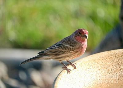 Curated Beach Towels - Male House Finch on Bird Bath by Carol Groenen
