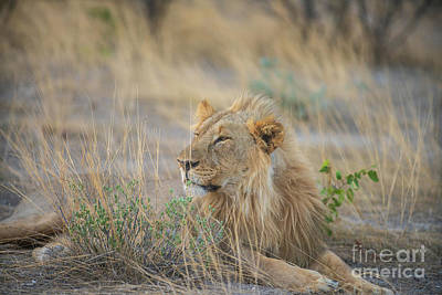 Animals Photos - Male Lion in the Grass Etosha Namibia by Mike Reid