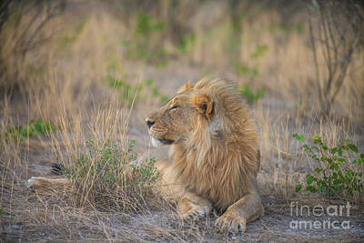 Animals Photos - Male Lion Relaxing in Nambia by Mike Reid