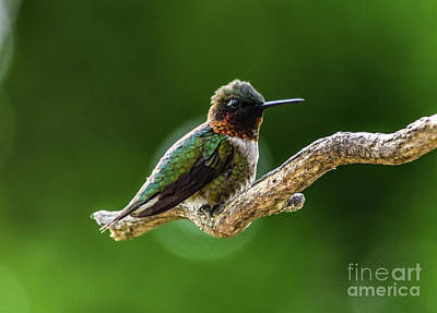 Impressionist Nudes Old Masters - Male Ruby-throataed Hummingbird Needing A Break by Cindy Treger