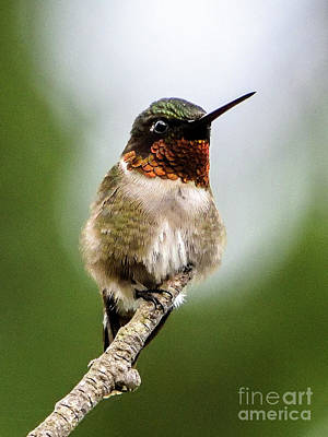 Sean Rights Managed Images - Male Ruby-throated Hummingbird Is Mesmerizing Royalty-Free Image by Cindy Treger