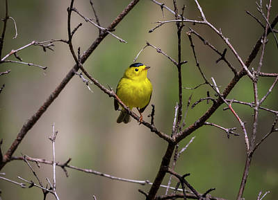 Photograph - Male Wilsons Warbler  by Ricky L Jones