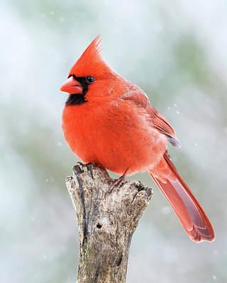 Vintage Movie Stars - Male Winter Cardinal  by Gigi Ebert
