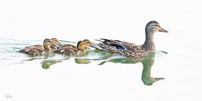 Popstar And Musician Paintings Royalty Free Images - Mallard Family Royalty-Free Image by Judi Dressler