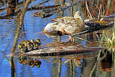 Animal Paintings David Stribbling - Mallard Family Reflections by Debbie Oppermann