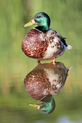 Lori A Cash Royalty-Free and Rights-Managed Images - Mallard Reflection by Lori A Cash