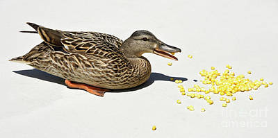 Photograph - Mama Duck Loves Her Corn by Michele Burgess