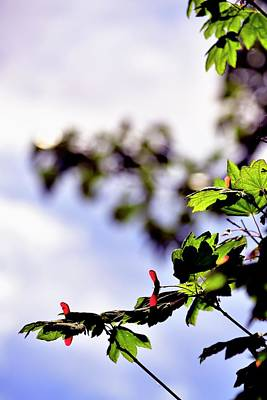 Jerry Sodorff Royalty-Free and Rights-Managed Images - Maple and Red Seed Pods by Jerry Sodorff