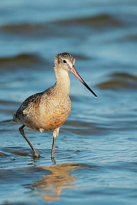 Lori A Cash Royalty-Free and Rights-Managed Images - Marbled Godwit Walking by Lori A Cash